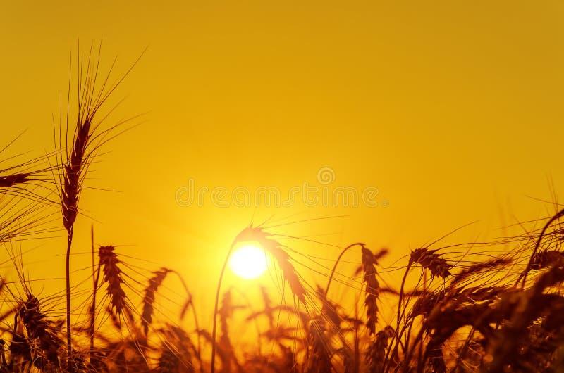 Gouden zonsondergang over oogstgebied royalty-vrije stock fotografie