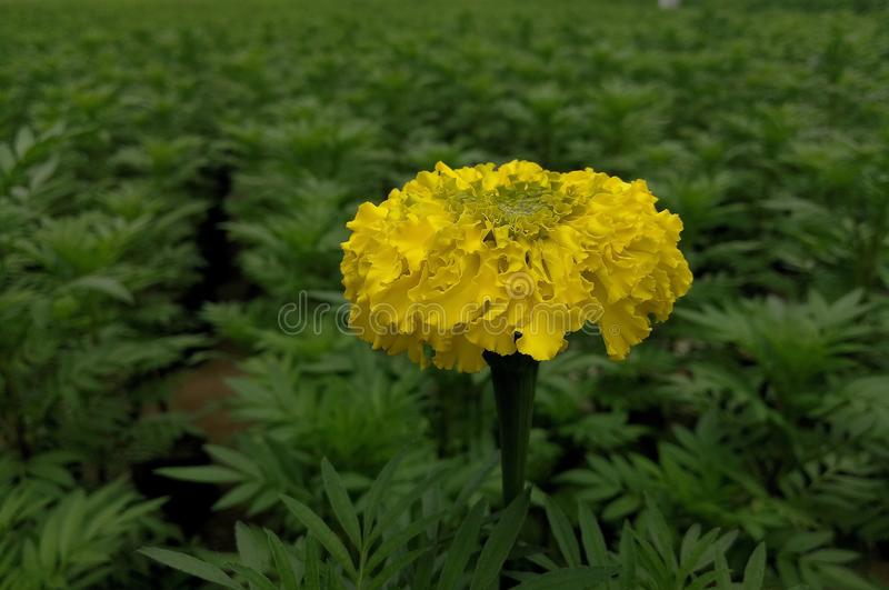 Goudsbloem YellowFlower stock afbeelding