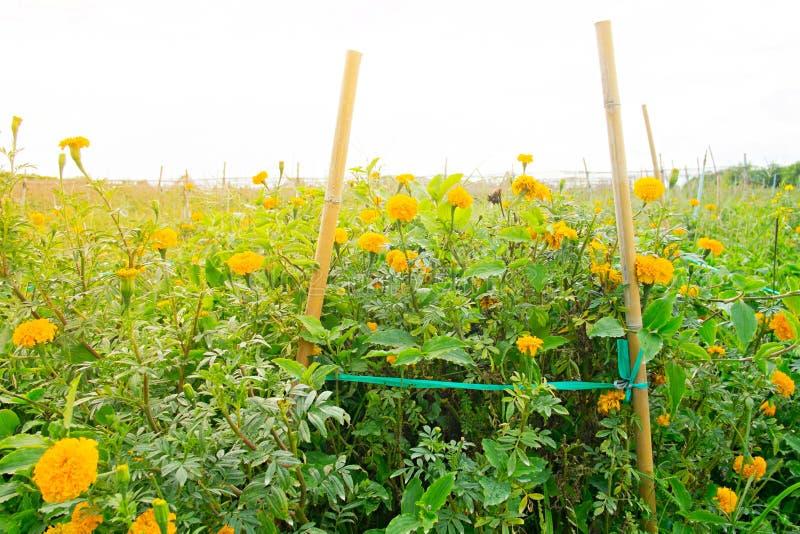 Goudsbloembloemen in het landbouwbedrijf stock foto