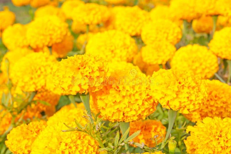goudsbloemen stock fotografie