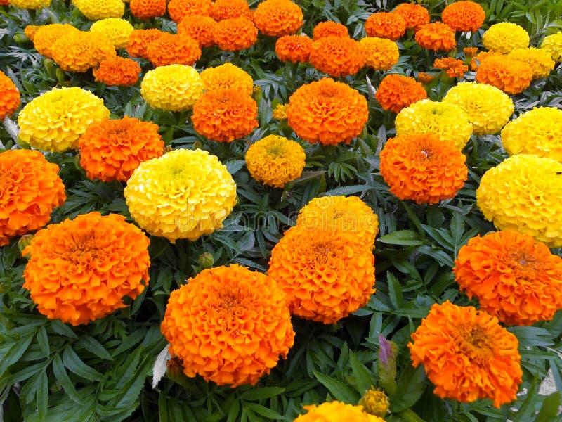 goudsbloemen stock foto
