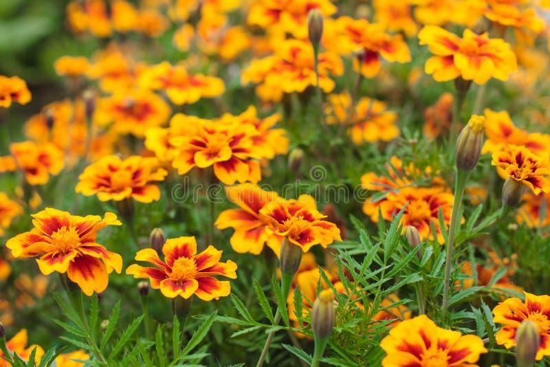 Goudsbloemen in de tuin Het gebied van goudsbloem bloeit Tagetes-erecta, Mexicaanse goudsbloem, Azteekse goudsbloem, Afrikaanse g royalty-vrije stock foto