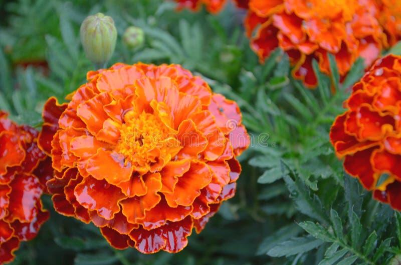 Goudsbloemen, Mexicaanse, Azteekse of Franse Goudsbloem in de tuin Macropatula of goudsbloem tagetes in een bloemtuin een zonnige royalty-vrije stock afbeelding