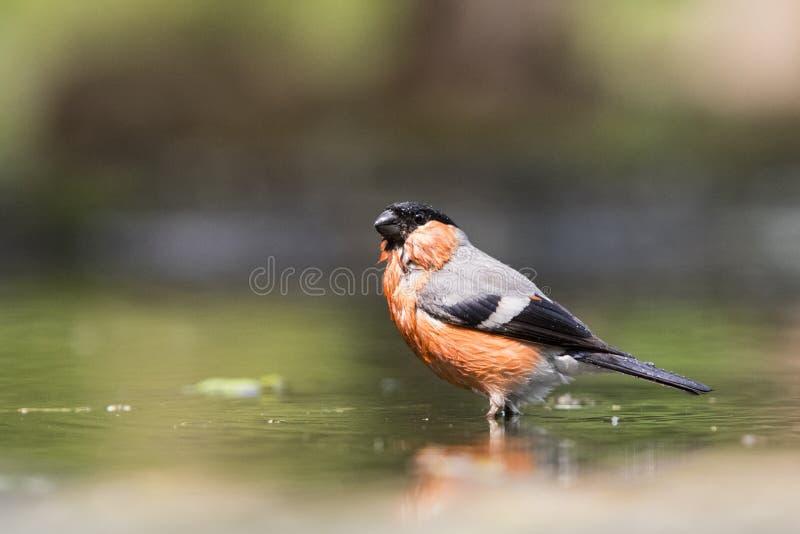 Goudvink; Bullfinch; Pyrrhula Pyrrhula стоковое фото