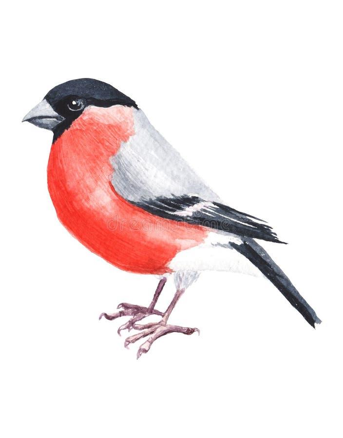 Goudvink van de Watercolour de hand geschilderde vogel Helder illustratie geïsoleerd element op witte achtergrond Zwarte rode gri vector illustratie