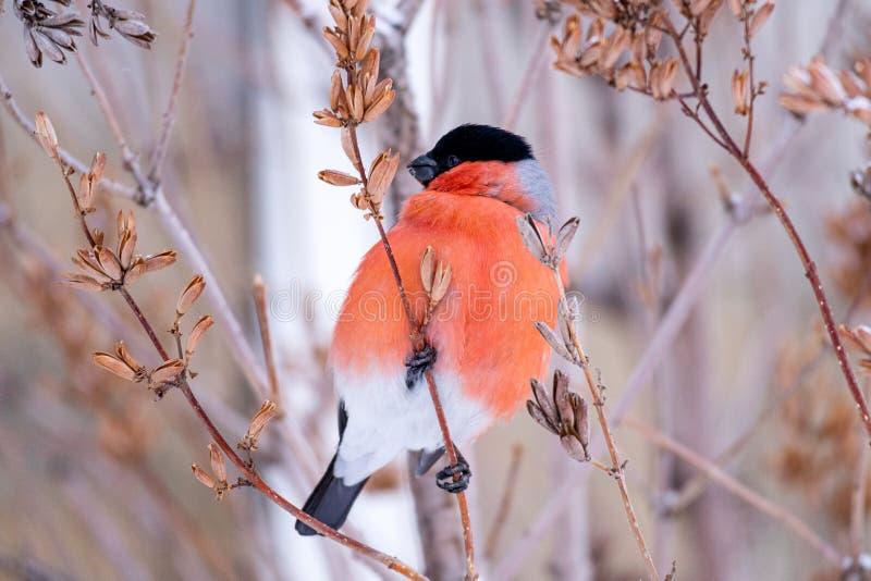 Goudvinkvogel met rood borstclose-up op een boomtak die aan de linkerzijde kijken stock fotografie