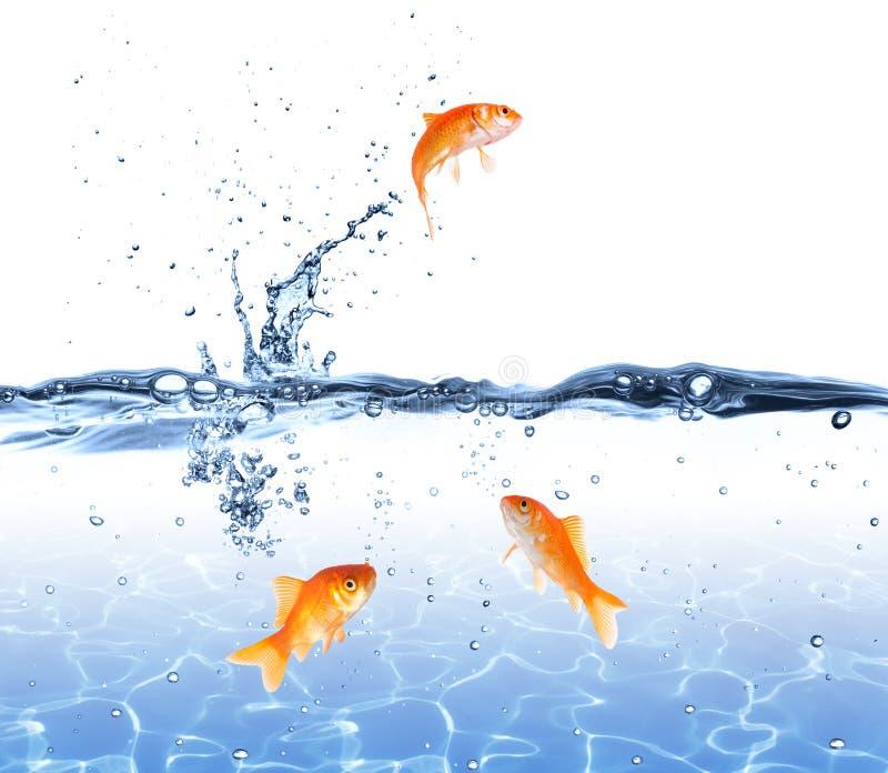 Goudvis die uit het water springen - vluchtconcept stock foto's