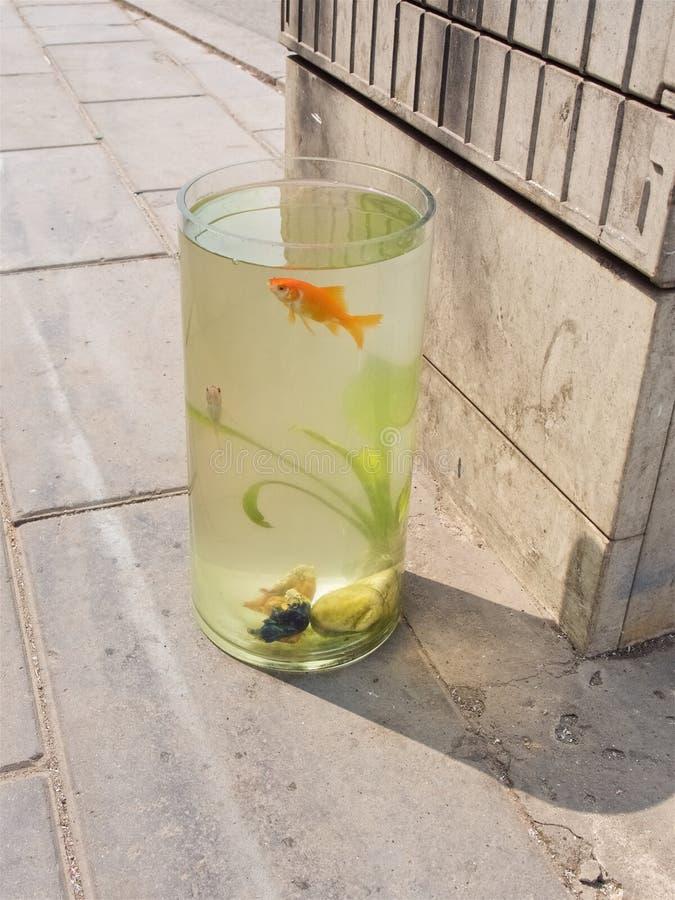 Goudvis in een aquarium die zich op de stoep in de straat bevinden stock afbeelding
