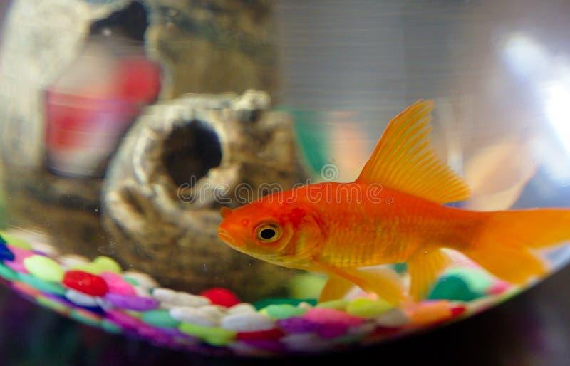 Goudvis in een fishbowl stock foto's