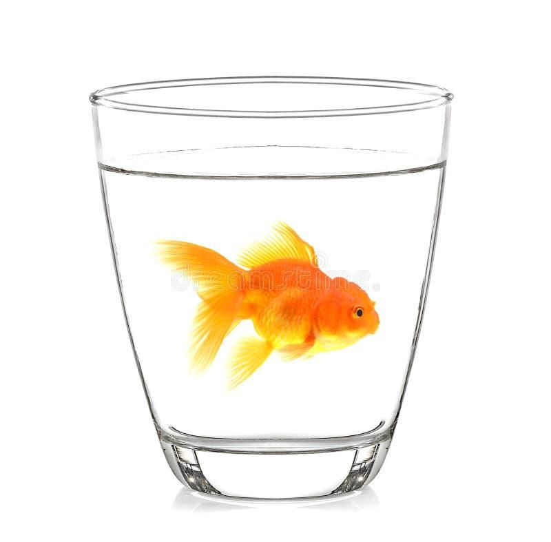 Goudvis in een glas met witte achtergrond stock foto's