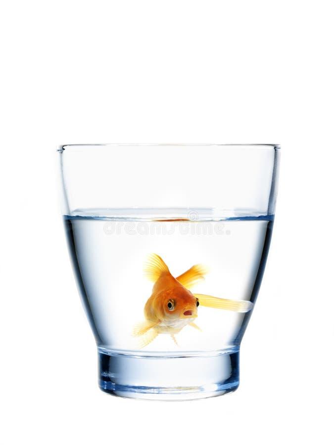 Goudvis in een waterglas royalty-vrije stock foto