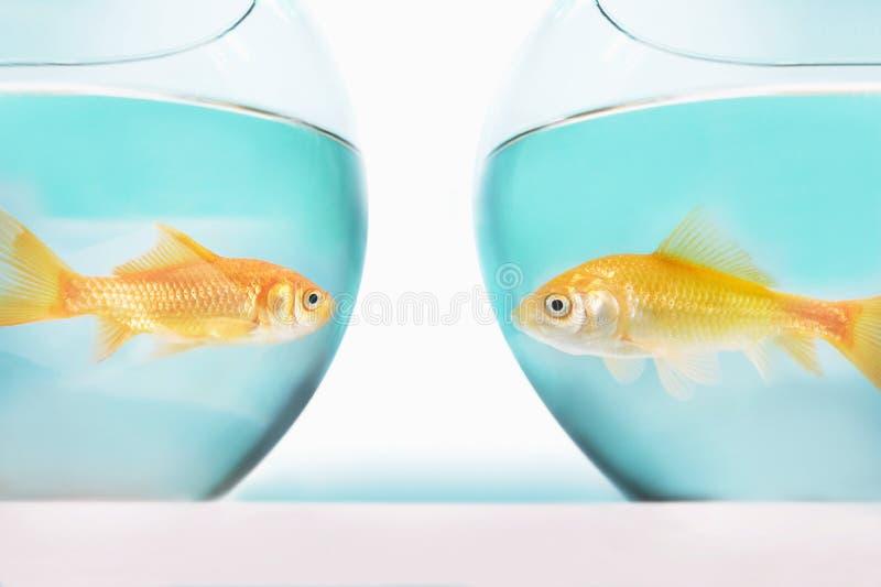 goudvis twee die elkaar in afzonderlijk de studioschot van vissenkommen onder ogen zien royalty-vrije stock foto's