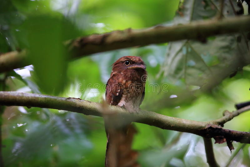 Gould ` s frogmouth 库存图片