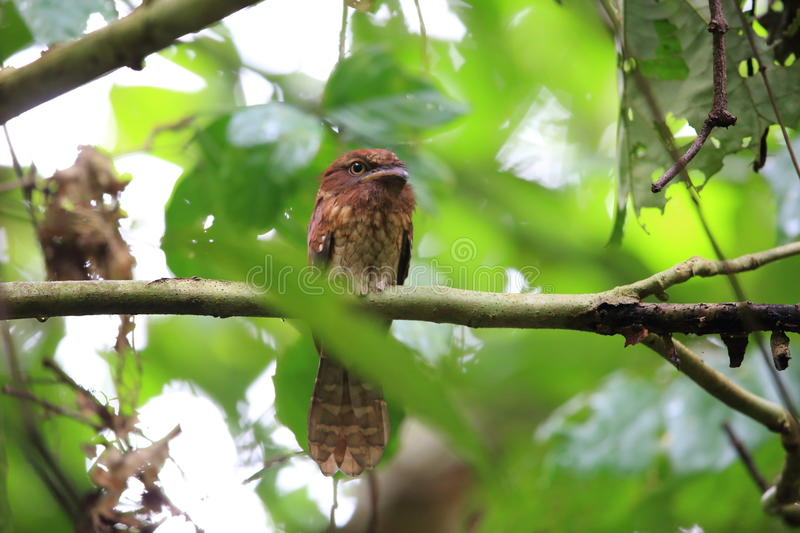 Gould ` s frogmouth 免版税库存照片