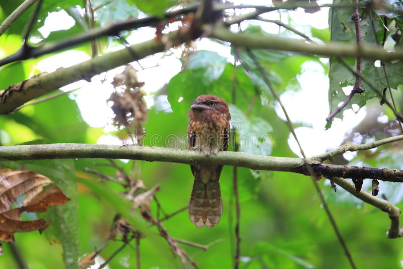 Gould ` s frogmouth 图库摄影