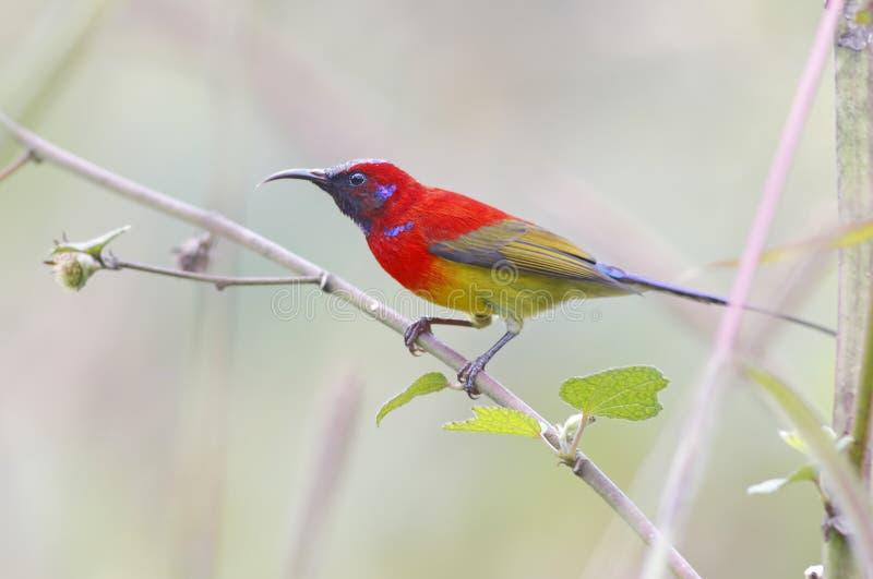 Gouldiae Mannelijke Vogels van Mevr.gould's sunbird Aethopyga van Thailand royalty-vrije stock afbeeldingen