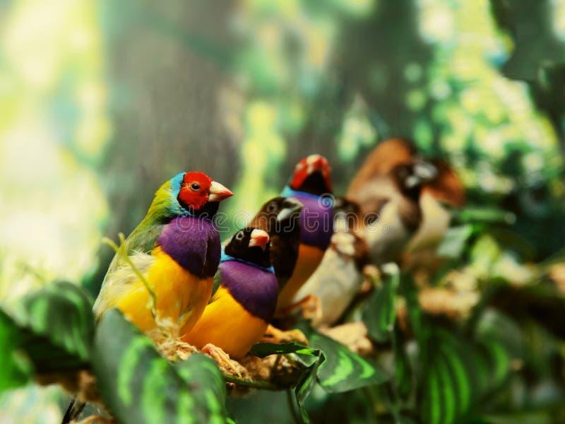 Gouldian雀科异乎寻常的鸟 免版税库存图片