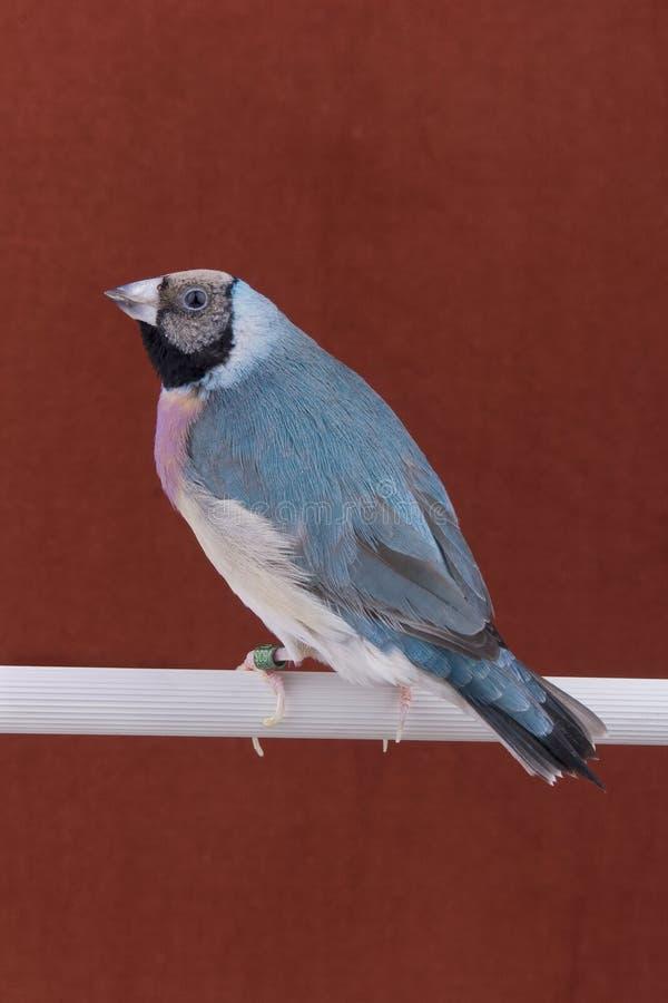 gouldian鸟的雀科 免版税库存照片