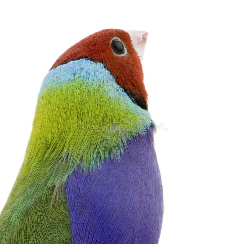 Download Gouldian Finch Stock Image - Image: 2314531