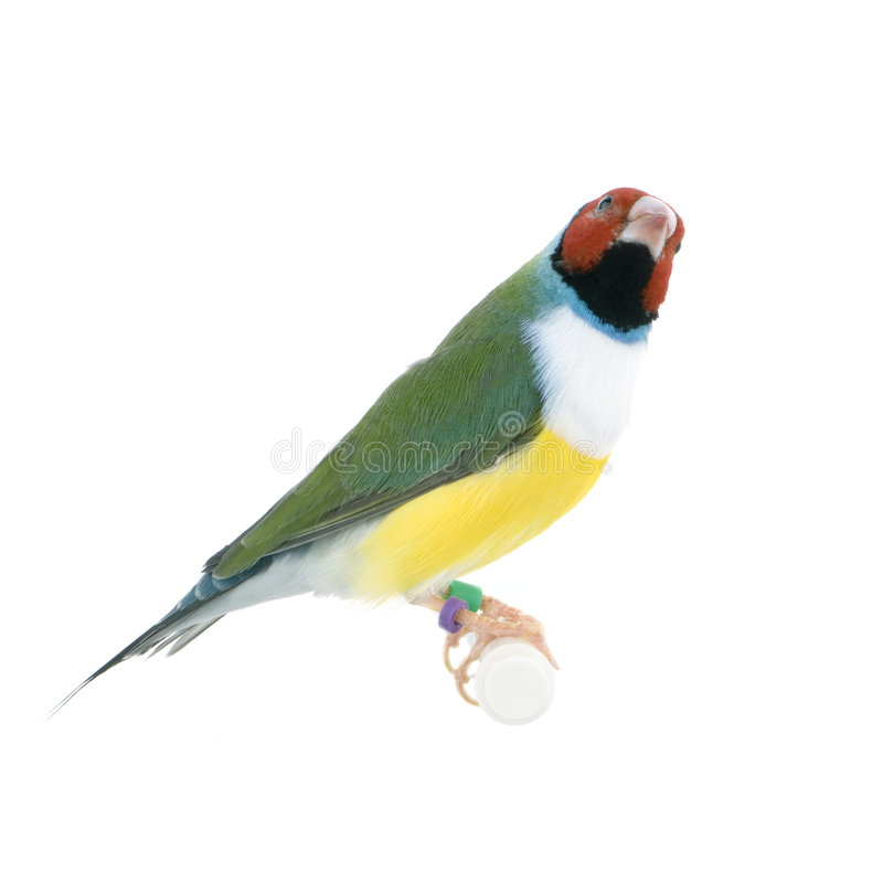 Download Gouldian Finch stock image. Image of colorful, perching - 2314541