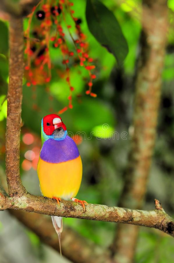 Free Gouldian Finch Bird Perched On Tree Branch, Florida Royalty Free Stock Images - 45665839