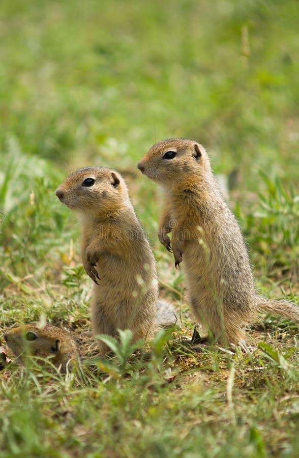 gound wiewiórki dwa czujne obraz royalty free