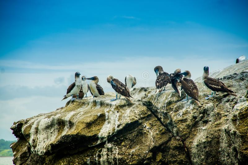 Goup of blue footed boobies on a rock, in Pedernales royalty free stock photo