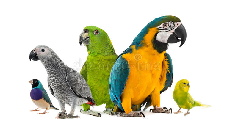 Goup of parrots. In front of a white background royalty free stock images