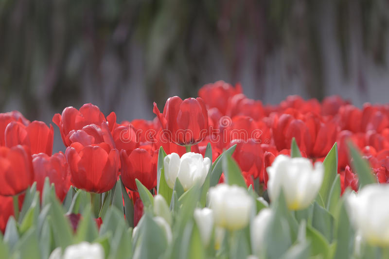 Download Goup Of White And Red Tulip Flowers In The Garden Royalty Free Stock Photography - Image: 28737997