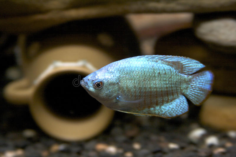 Gourami-Fische lizenzfreie stockbilder