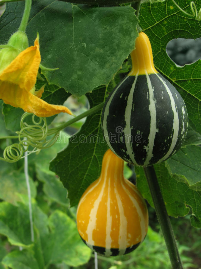 Download Gourds on the stems stock image. Image of colorful, leaves - 15320009