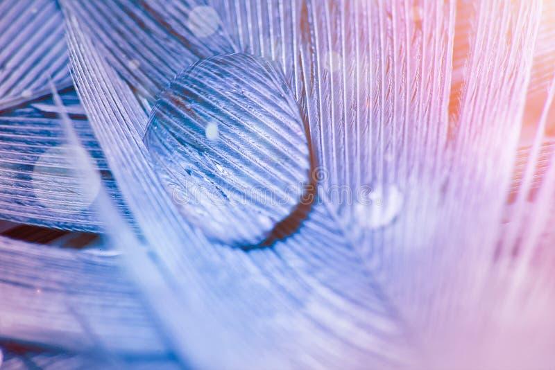 Goutte de l'eau sur la plume dans la couleur violette et bleue, macro photo photographie stock
