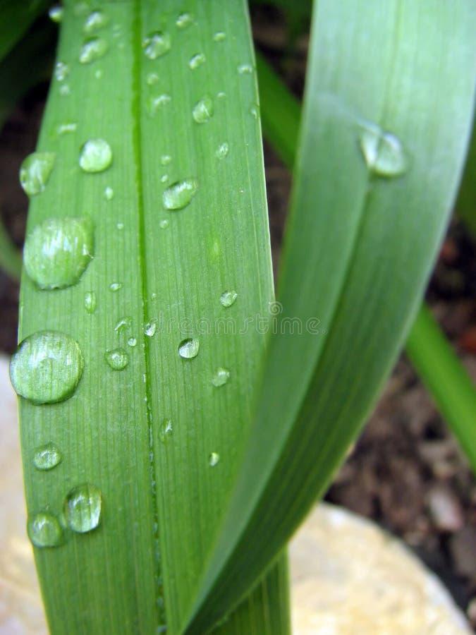 Goutte de l'eau sur une lame d'herbe verte photo stock