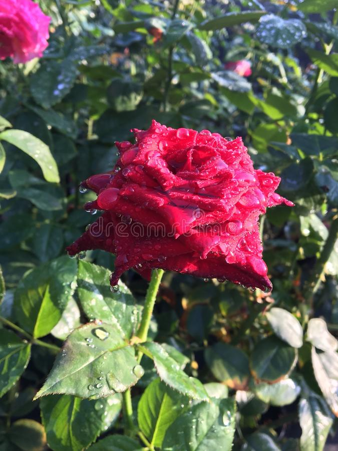 Goutte de pluie sur la rose photographie stock libre de droits