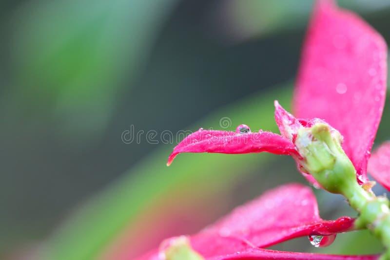 Goutte de pluie sur le pétale rose photos stock