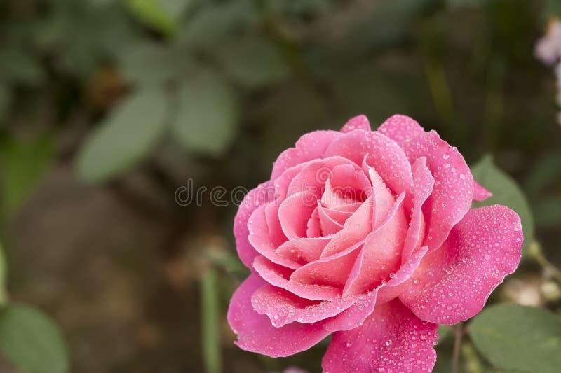 Goutte de rosée rouge de suffruticosa de paeonia de pivoine images libres de droits