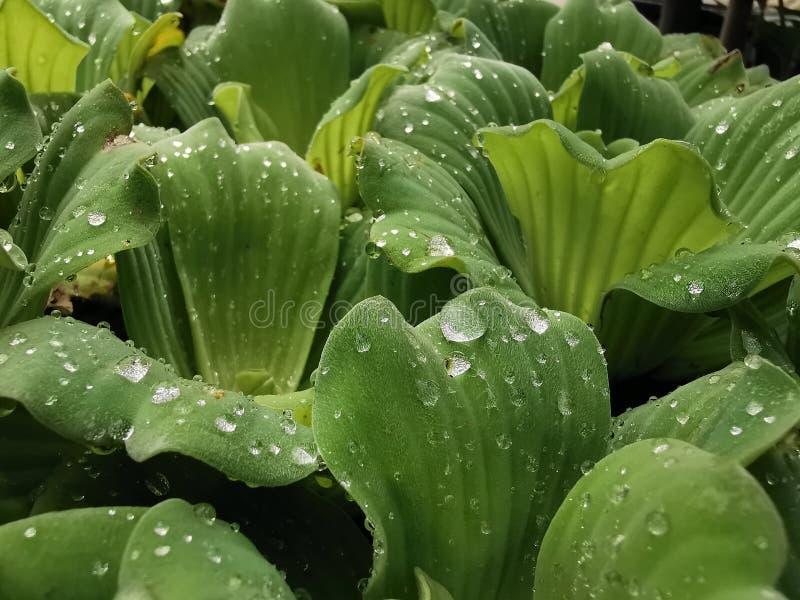 Gouttelette de l'eau sur des feuilles de laitue d'eau photo libre de droits
