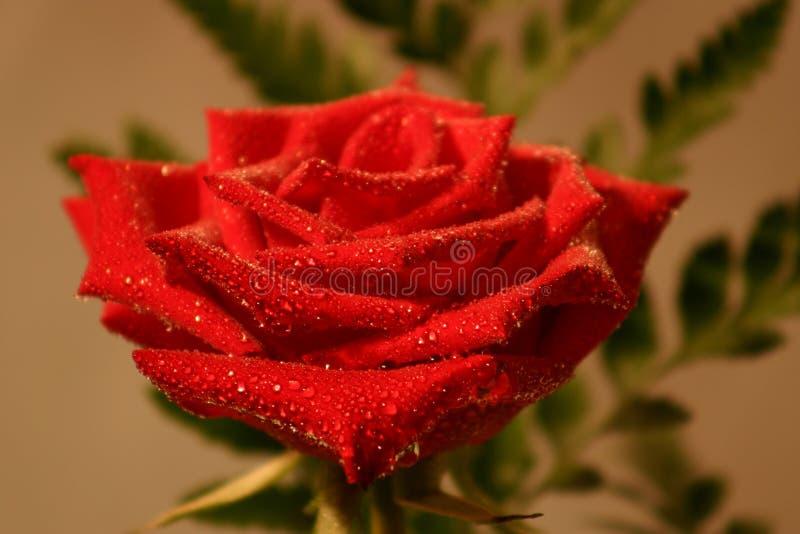 Gouttelette Rose photo stock