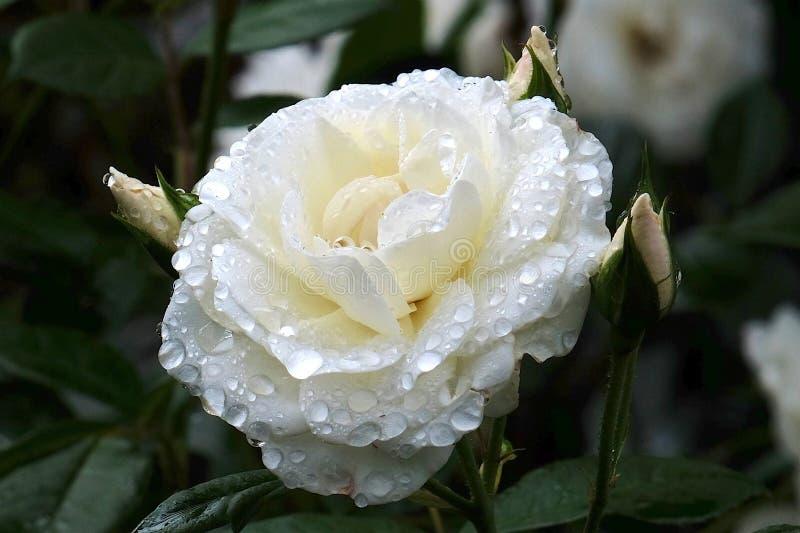 Download Gouttelettes D'eau Rose Blanches Image stock - Image du instruction, blanc: 87708361
