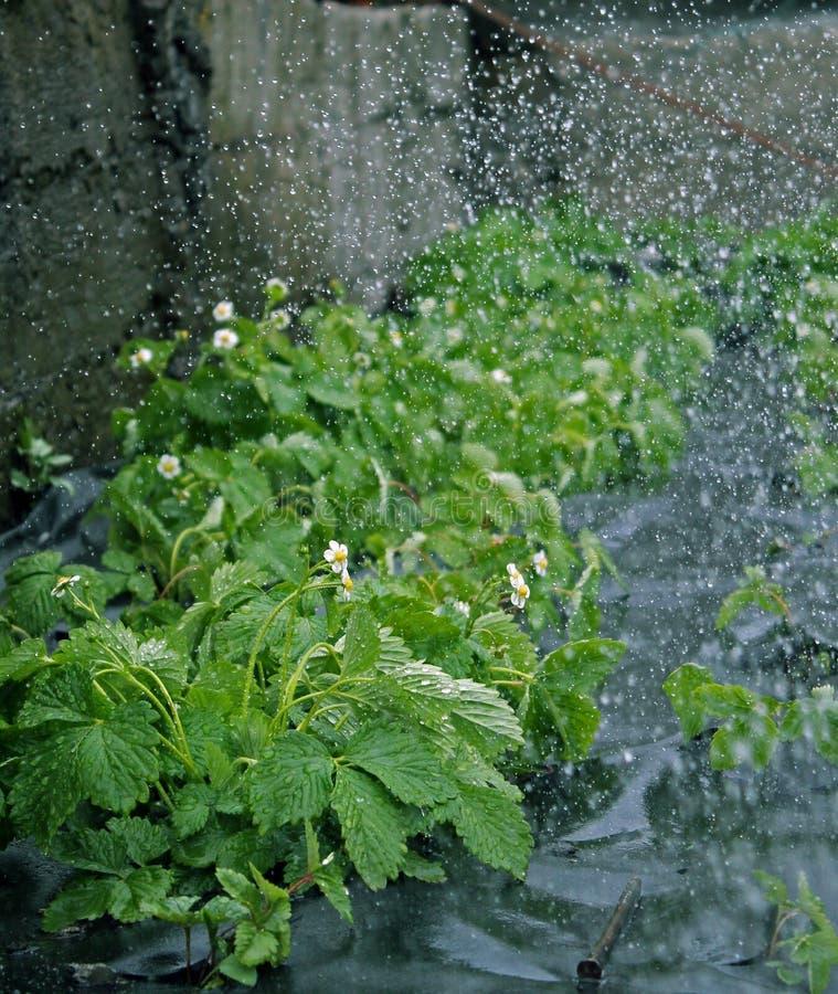 Gouttelettes d'eau sur des fraises images libres de droits