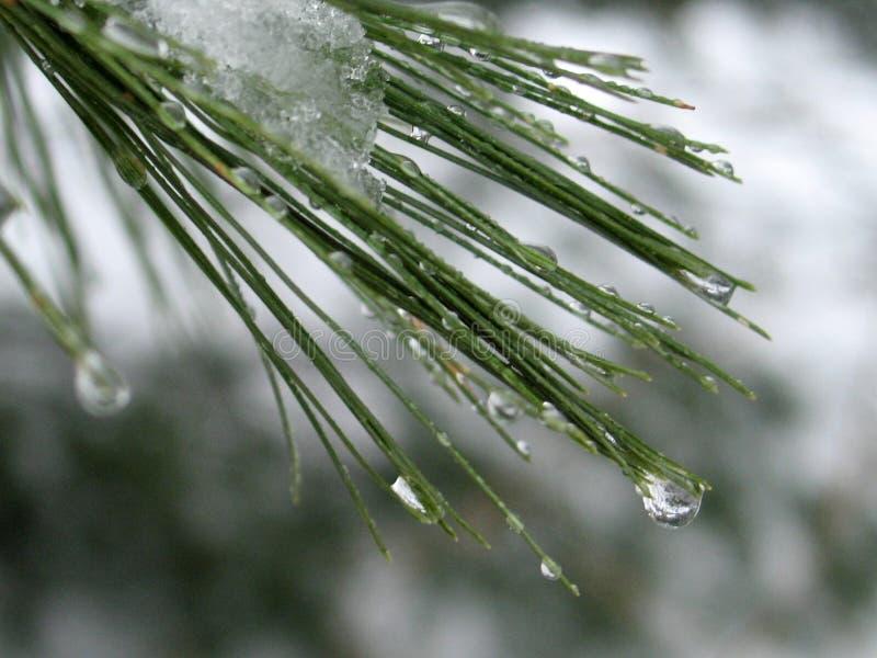 Download Gouttelettes D'eau Sur Des Pointeaux De Pin : Image stock - Image du saisons, gouttelette: 85665