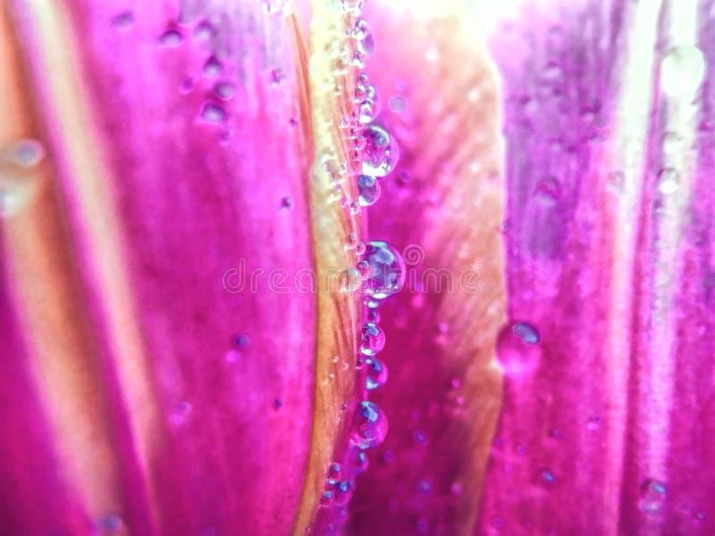 Gouttelettes d'eau sur la tulipe image libre de droits