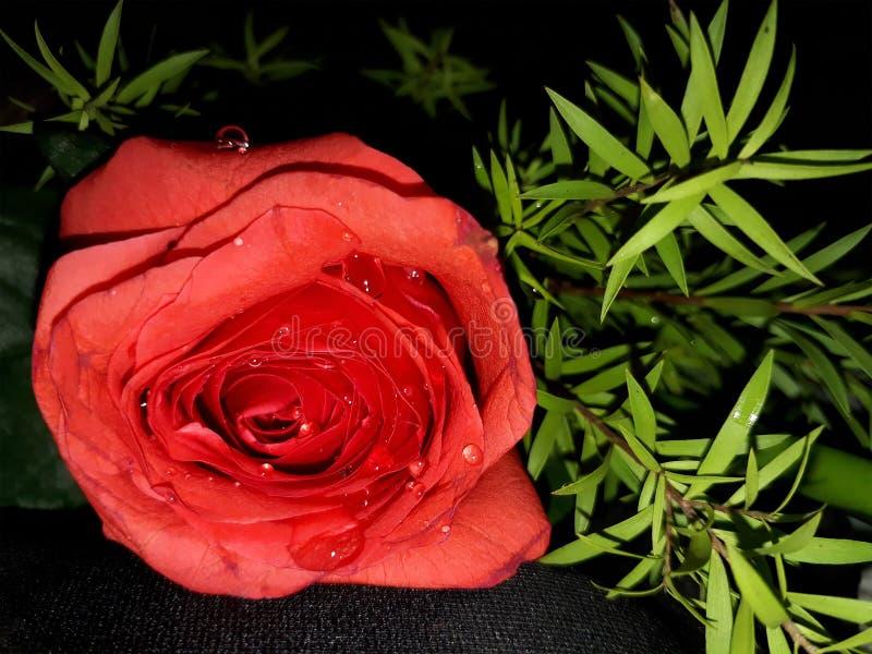 Gouttelettes d'eau sur Rose rouge photo stock