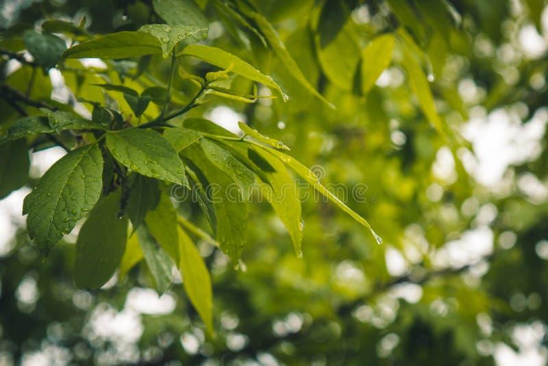 Gouttes de l'eau après l'écoulement de pluie des feuilles vertes sur le plan rapproché d'arbres Pluie d'?t? un jour ensoleill? te images libres de droits