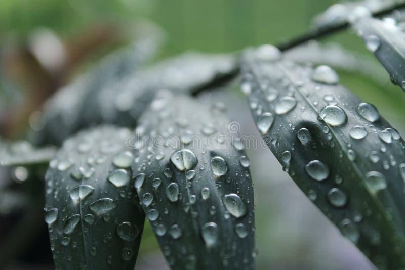 Gouttes de l'eau sur les feuilles images libres de droits