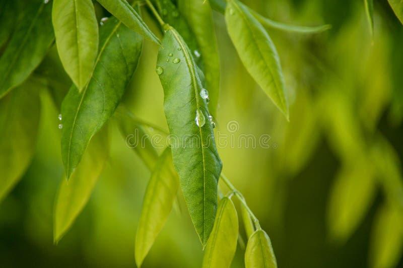 Gouttes de pluie sur des lames photographie stock libre de droits