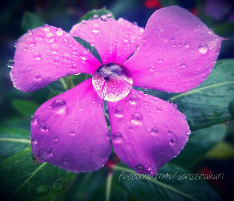 Gouttes de pluie sur la fleur photo stock