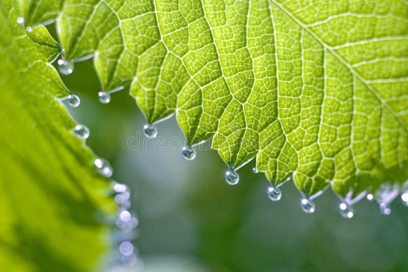 Gouttes de pluie sur la la pousse fraîche image stock