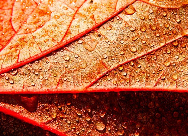 Gouttes de pluie sur la lame d'automne image stock