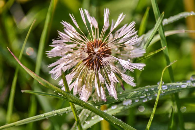 Gouttes de pluie sur le seedhead de pissenlit images stock